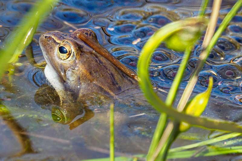 Moorfrosch im Laich, Himmelmoor, Naturerlebnis