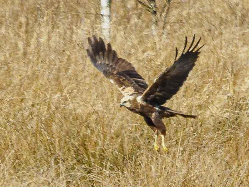 Rohrweihe auf der Jagd. Dunkelbrauner Greifvogel, cremefarbener Kopf und Schultern, gelbe Fänge.