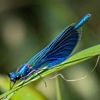 Blauflügelprachtlibelle-Männchen - Düpenau