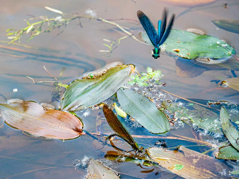Pärchen Blauflügelprachtlibelle Düpenau