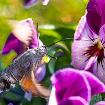 Taubenschwanz Schmetterling