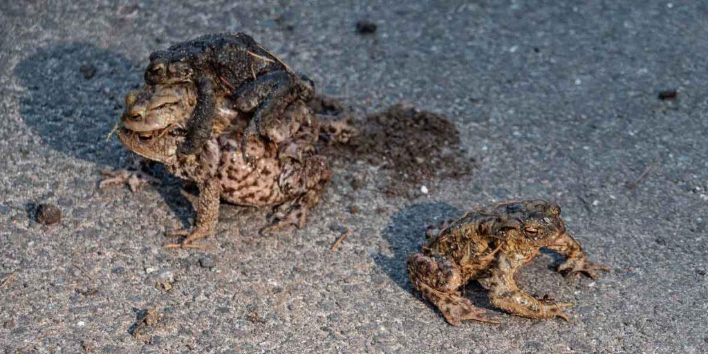 Erdkröten auf der Straße Buttermoor
