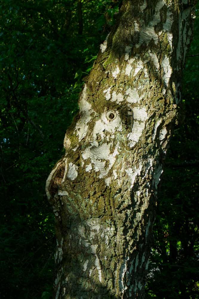 Bäume erzählen - Birke