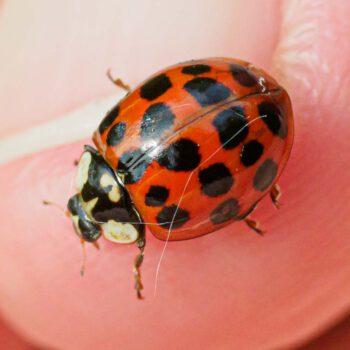 Marienkäfer Insektensommer Entdeckungsfrage