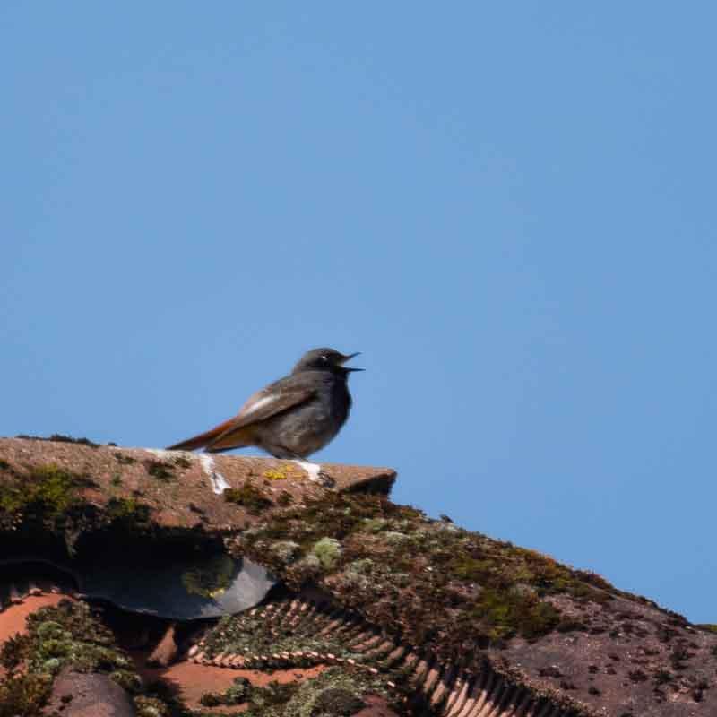 Hausrotschwanz singt auf dem Dach
